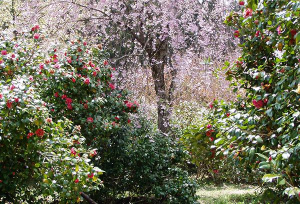 訪春園 雪椿の庭園