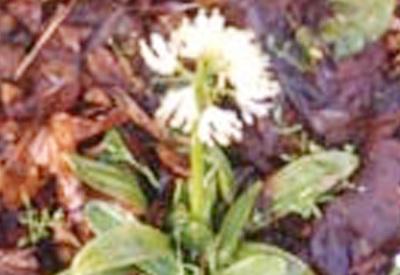 白花しょうじょうばかま