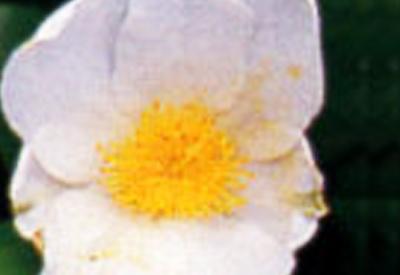 白花雪椿(白花原種)