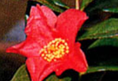 赤花雪椿(赤花原種)